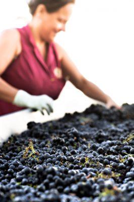 Verarbeitung der Weintrauben für Primitivo Wein